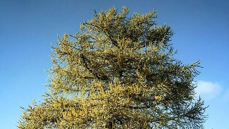 Europäische Lärche <br />(Larix decidua)