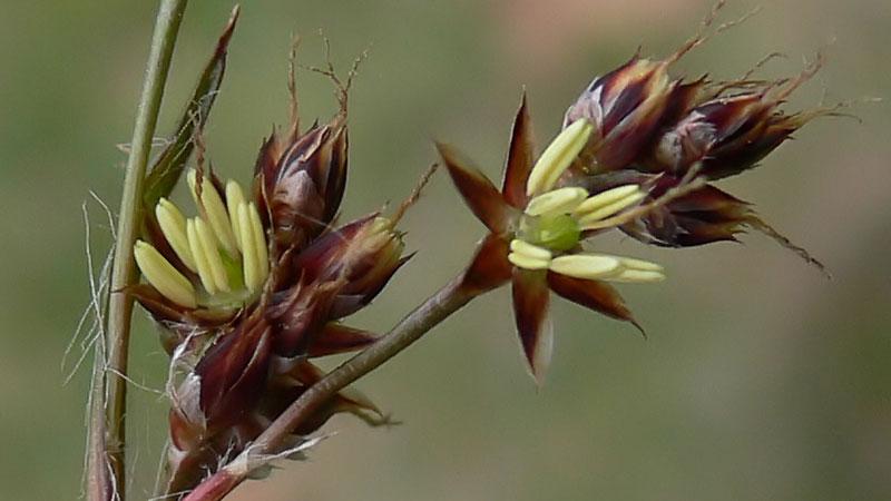 Feld-Hainsimse <br />(Luzula campestris)