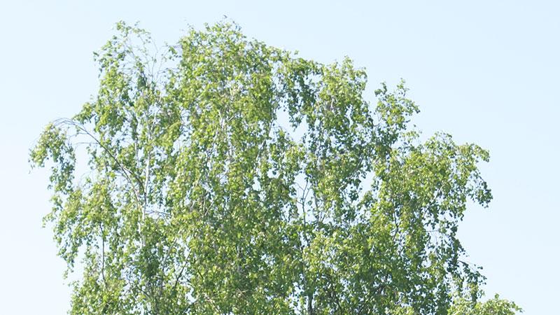 Hänge-Birke <br />(Betula pendula)