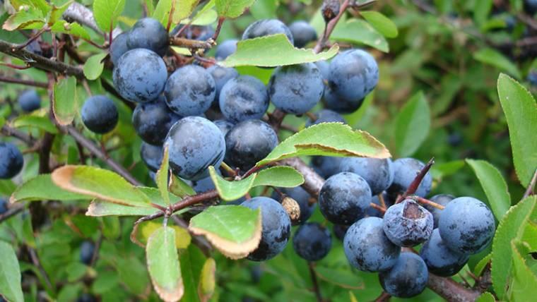 Gewöhnliche Schlehe, <br />Schwarzdorn (Prunus spinos)