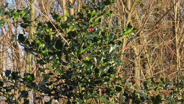 Stechpalme <br />(Ilex aquifolium)